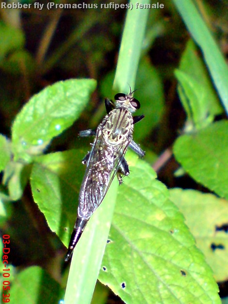 Promachus rufipes - Red-footed Cannibalfly