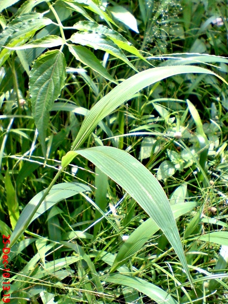 rumput bambuan 3