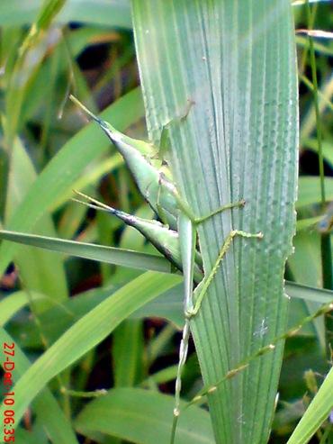 belalang hijau kawin di rumput bambuan 1