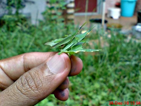 belalang hijau kawin di daun pegagan 1