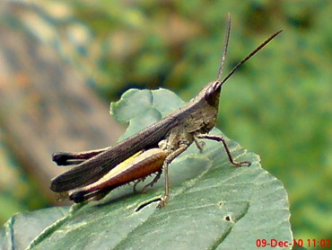 belalang coklat Phlaeoba fumosa 3