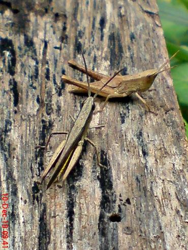 belalang coklat Phlaeoba fumosa 13