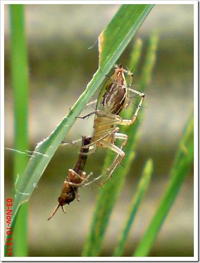 lynx spider menangkap anak belalang coklat 3