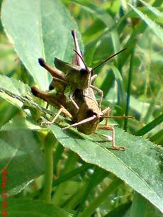 belalang coklat Phlaeoba fumosa kawin 7