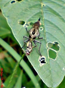 lalat makan lalat 5