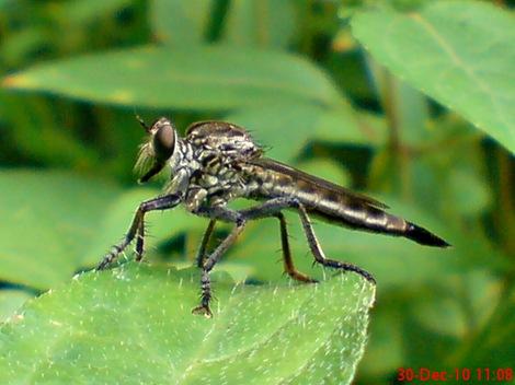 lalat makan lalat 7