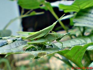 belalang hijau kawin 1