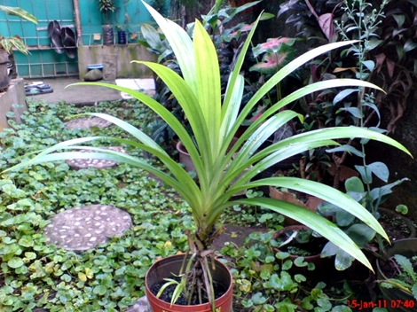 Pandan Wangi - Pandanus amaryllifolius - Fragrant Screwpine Indonesian Screwpine 1