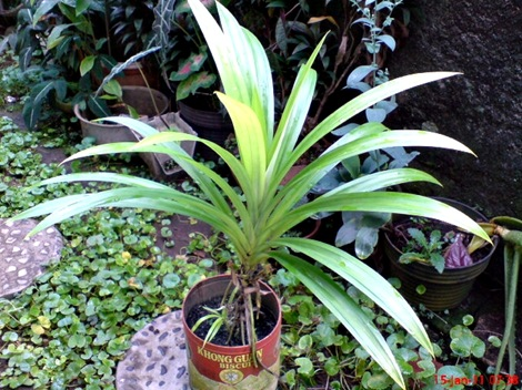 Pandan Wangi - Pandanus amaryllifolius - Fragrant Screwpine Indonesian Screwpine 5