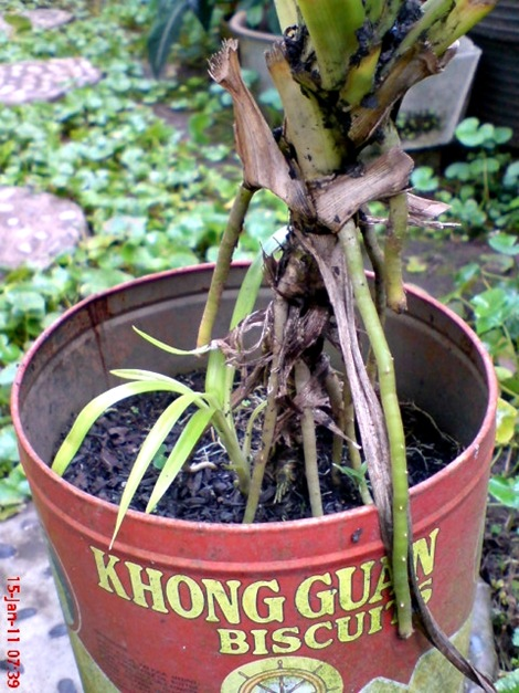Pandan Wangi - Pandanus amaryllifolius - Fragrant Screwpine Indonesian Screwpine 7