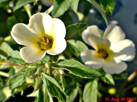 white alder Turnera subulata bunga pukul delapan  04