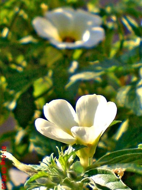 white alder Turnera subulata bunga pukul delapan  03