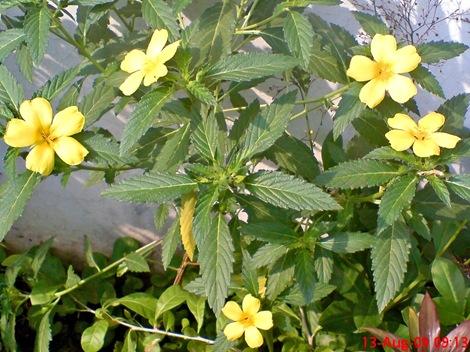 yellow Turnera ulmifolia 07