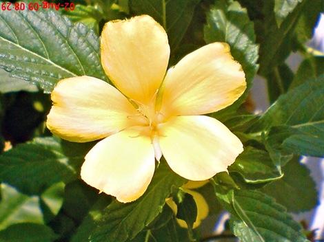 yellow Turnera ulmifolia 01