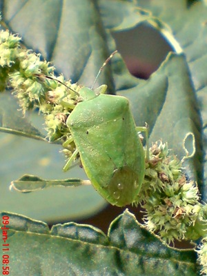 Nezara viridula_green vegetable bug_kepik hijau 14