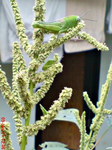 [Nezara viridula_green vegetable bug_kepik hijau 24[1].jpg]