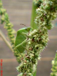 Nezara viridula_green vegetable bug_kepik hijau 06