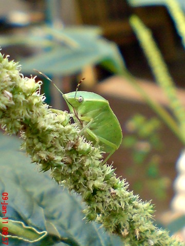 [Nezara viridula_green vegetable bug_kepik hijau 11[2].jpg]