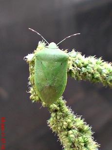 Nezara viridula_green vegetable bug_kepik hijau 03