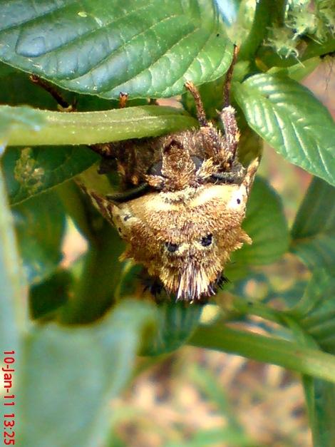 moth Dudusa vethi ngengat 17