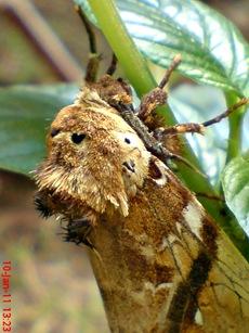 moth Dudusa vethi ngengat 11