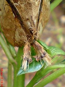 moth Dudusa vethi ngengat 13