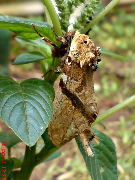 moth Dudusa vethi ngengat 05