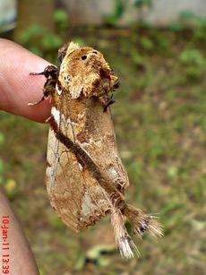 ngengat moth Dudusa vethi 04