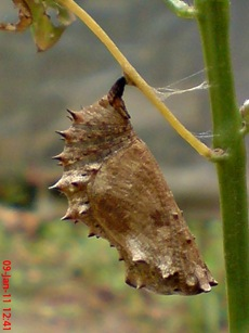 Common Eggfly Butterfly - Hypolimnas bolina - pupa 6
