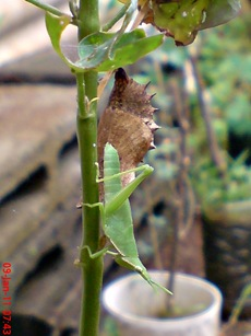Common Eggfly Butterfly - Hypolimnas bolina - pupa 8