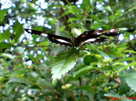 Common Eggfly Butterfly - Hypolimnas bolina - male 3
