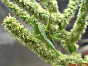 usaha pembajakan perkawinan belalang hijau 03
