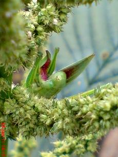 usaha pembajakan perkawinan belalang hijau 05