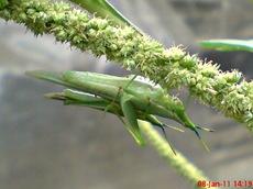 usaha pembajakan perkawinan belalang hijau 14