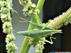 usaha pembajakan perkawinan belalang hijau 16