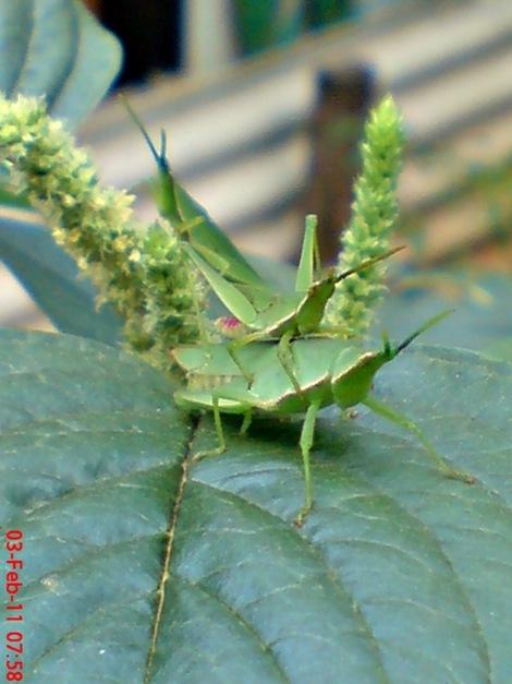 usaha pembajakan perkawinan belalang hijau 3