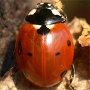 Coccinella-septempunctata-03