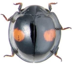 Ladybird Chilocorus renipustulatus Scriba (Coccinellidae)