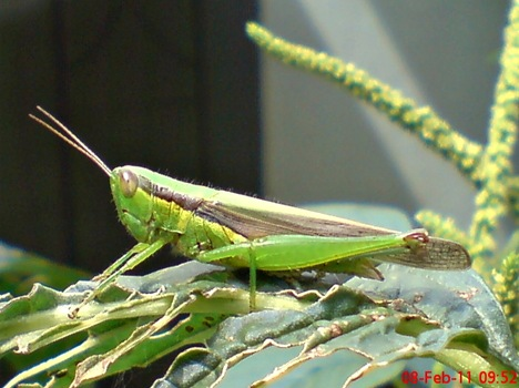 belalang hijau Oxya chinensis 8