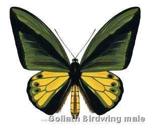 Ornithoptera Goliath Supremus Male