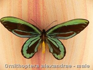 ornithoptera_alexandrae_male