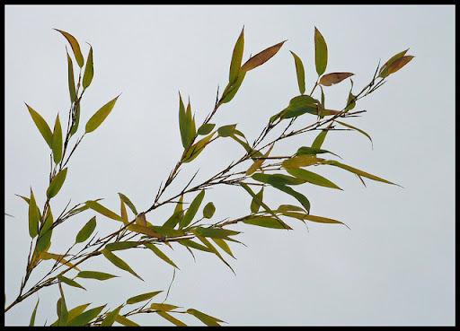 Bambus Blaetter