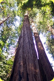 Redwoods(5)