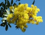 mimosa-in-flower1