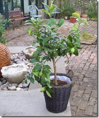 plants for presents lemon tree
