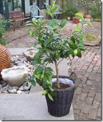 plants for presents lemon tree