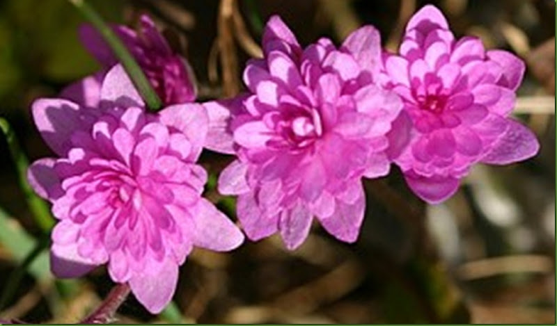 rosa blåveis2