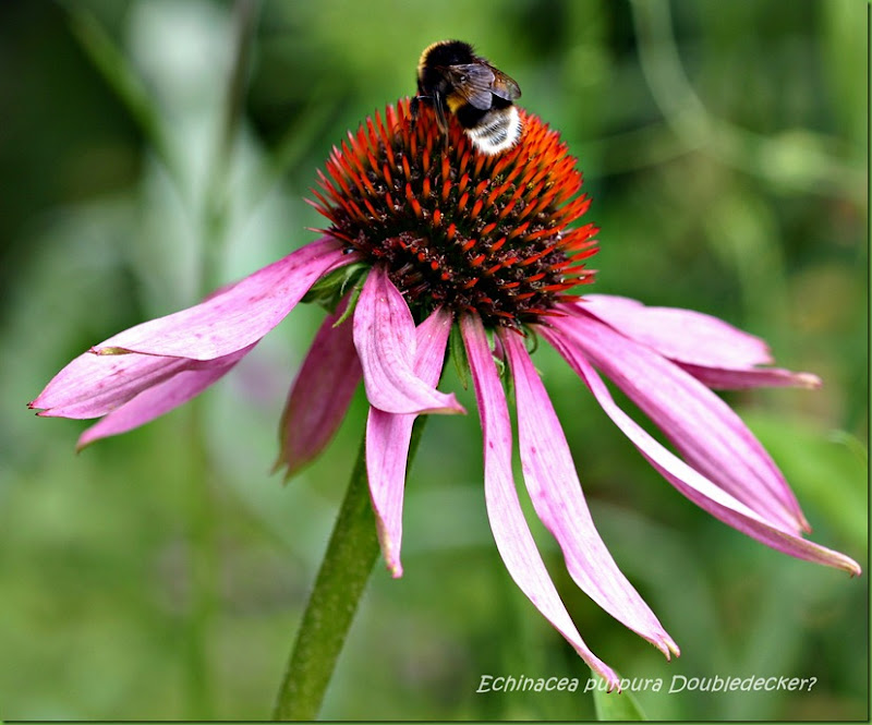 echinacea purpura double decker