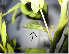sulphur chrysalis with arrow