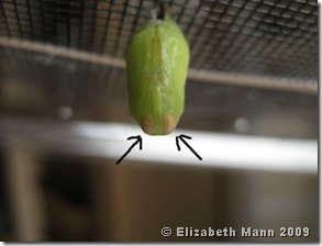 Chrysalis with arrows pointing to eyes